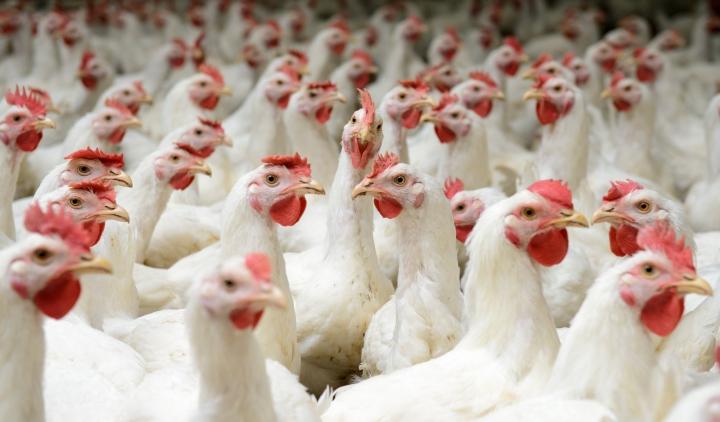 рынок мяса птицы